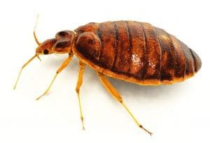 Lifelike 3D rendering of a bedbug.  Includes clipping path!Created in modo 401 & ZBrush.