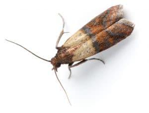 Moth Plodia InterpunctellaSimilar Images: