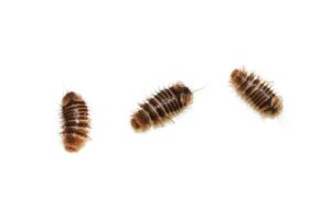 Museumsklanner-larver (Anthrenus museorum)